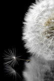 Dandelion on a black background