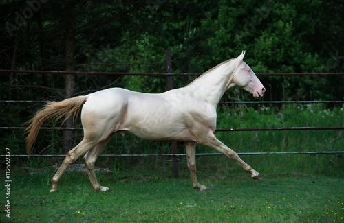 Zdjęcia na płótnie, fototapety, obrazy : running creamello purebred akhalteke stallion in paddock