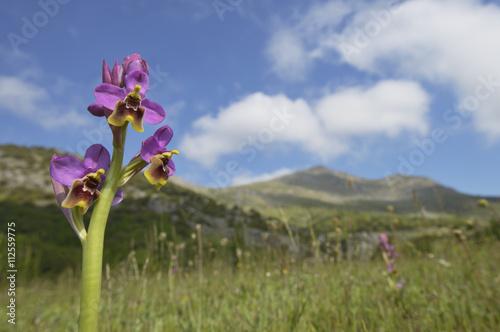 Zdjęcia na płótnie, fototapety, obrazy : Ophrys tenthredinifera.en primavera