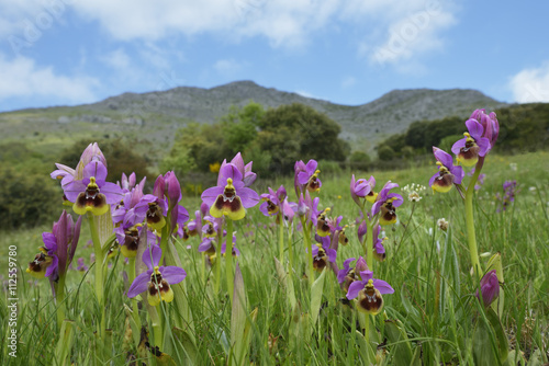 Zdjęcia na płótnie, fototapety, obrazy : Ophrys tenthredinifera. Primavera