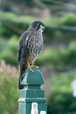 Falco novaeseelandiae, New Zealand Falcon
