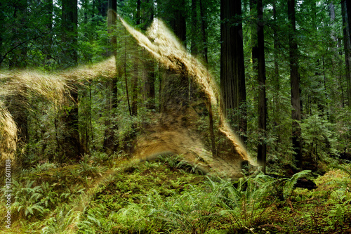 double exposure of a coyote and forest - 112601188
