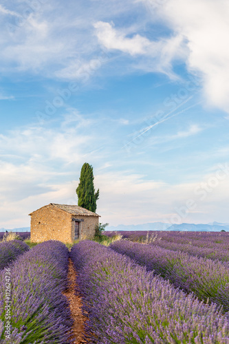 Poster Provence, Lavender field with flowers in Valensole Plateau