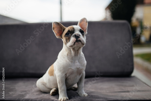Cute French bulldog puppy sitting on a sofa. © tamara83