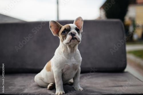 Cute French bulldog puppy sitting on a sofa. © tamara83