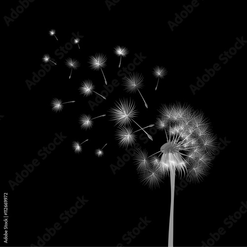 white-dandelion-on-black-background-flying-spores-concept-of-wishing-tenderness-and-summer-time