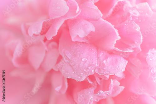 Fototapeta Tender wet pink peony flower macro background
