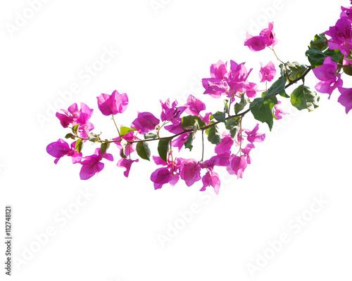 Papiers peints Azalea Blooming bougainvilleas isolated on white background