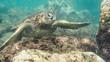 Endangered Hawaiian Green Sea Turtle captured on Oahu Hawaii North Shore