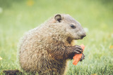 Cute and small marmot eating a carrot