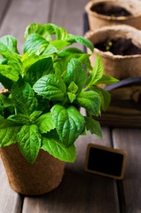 Green mint sprouts