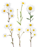 isolated set of six fine chamomile flowers
