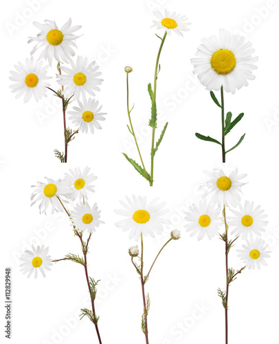 isolated set of six fine chamomile flowers