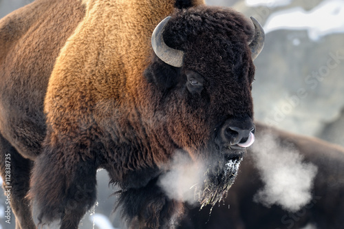 Poster American bison (Bison bison) breathing in cold winter