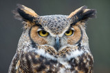 Great Horned Owl (Bubo virginianus) in the rain