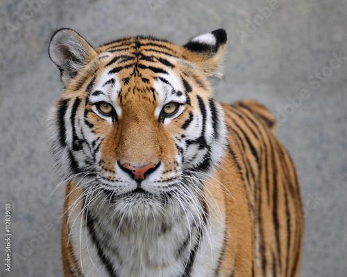 Amur tygrys (Panthera tigris altaica)