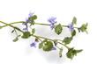 Leinwanddruck Bild - gundelrebe, glechoma, hederacea, bluete