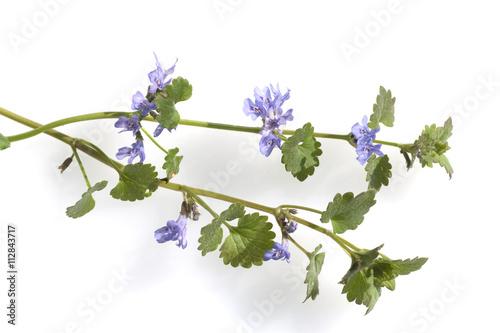 Leinwanddruck Bild gundelrebe, glechoma, hederacea, bluete