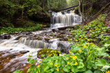 Fototapety Spring Buttercups at Wagner Falls - Munising Michigan