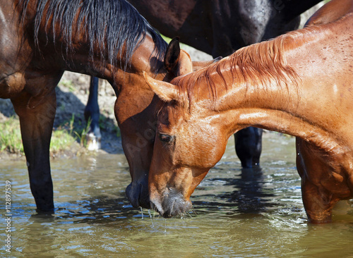 Zdjęcia na płótnie, fototapety, obrazy : Herd of horses drink water in a lake