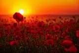 Kwiaty maków na tle zachodzącego słońca - 112914104