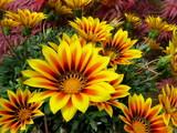 Lovely yellow Gazania