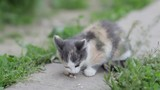 kitten eats/little kitten eats  meat on the street