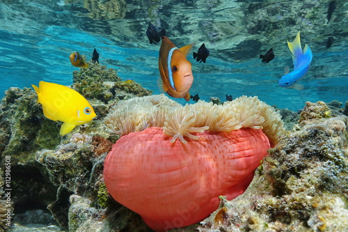 Foto op Aluminium Flamingo Colorful tropical fish with a Magnificent sea anemone in shallow water, Bora Bora, Pacific ocean, French Polynesia