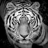 Portrait de tigre en noir et blanc