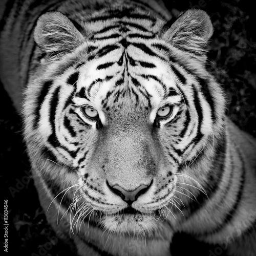 Zdjęcia Portrait de tigre en noir et blanc