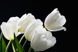 beautiful delicate bouquet of a white tulips on a dark backgroun
