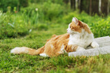 Red-haired cat with a white breast lying on green grass