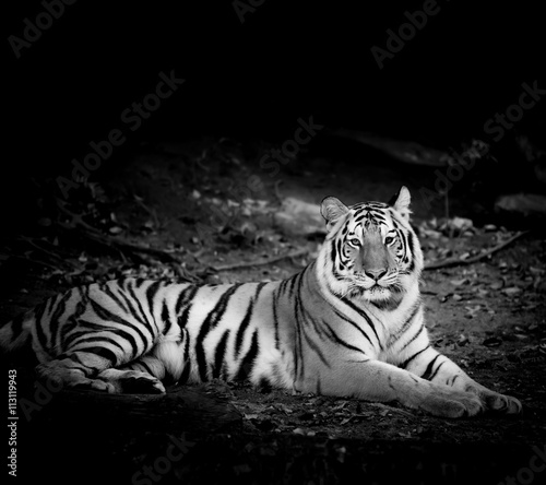 Foto op Aluminium Panter Black & White Tiger