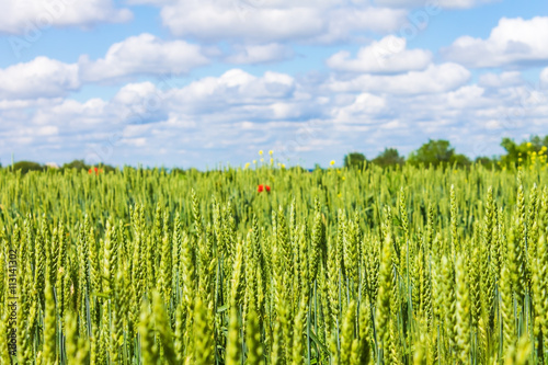 rye wheat field and blue sky with clouds background
