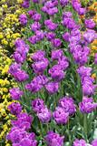 Beautiful tulips in a botanical garden, Balchik, Bulgaria