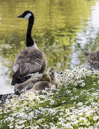 Canadian Goose with goslings at Alexandra Park, Oldham, England Poster