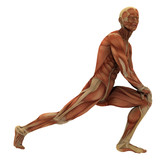 Human male form showing muscle forms (no skin).