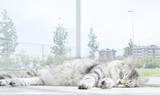 Adorable female cat, silver version of siberian breed, short hai