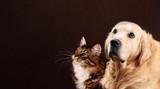 Cat and dog, siberian kitten , golden retriever looks at left - 113259366