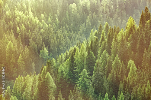 Healthy green trees in a forest of old spruce, fir and pine trees - 113289560