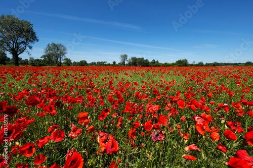 Meadow with poppy flowers, Polish landscape