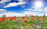 Summer happiness: meadow with red poppies :) - 113319595