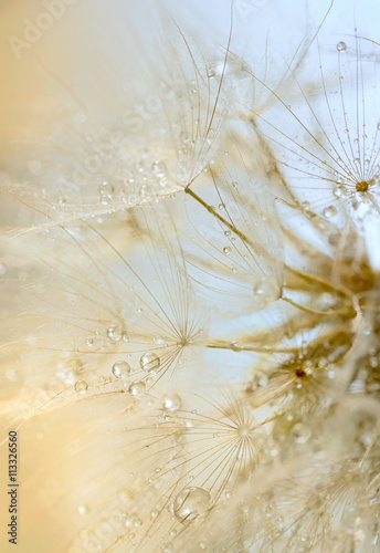 dew drops on a dandelion © icarmen13