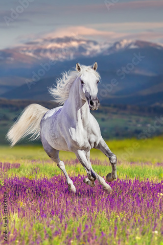 Obraz White stallion with long mane run gallop in flowers against mountains