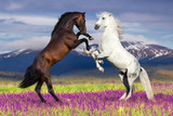 Two horse rearing up against mountain view in flower field - Fine Art prints