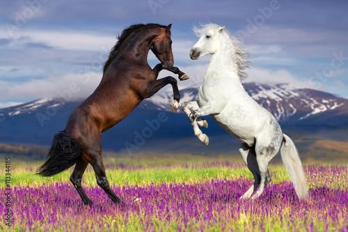 dwa-koni-wychow-up-przeciw-widokowi-gorskim-w-kwiatu-polu