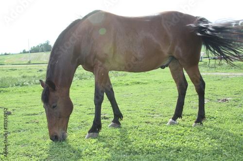 Zdjęcia na płótnie, fototapety, obrazy : grazing horse