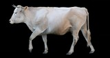 White cow walking on a transparent background. Cyclic animation contains an alpha channel. Can also use as a silhouette.