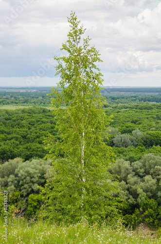 lush foliage of summer birch