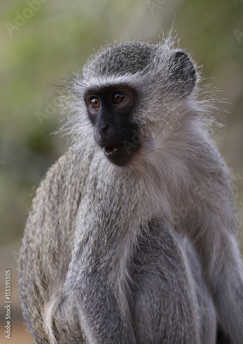 Poster wild velvet monkey in Kruger National Park, South Africa.